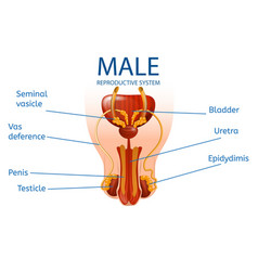 Male reproductive system detailed mans genitals vector