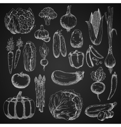 Chalk sketches of farm vegetables vector image
