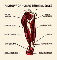 Anatomy human thigh muscles in vintage style vector