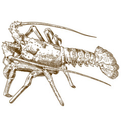 Engraving drawing of rock lobster vector