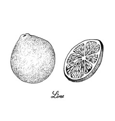 Hand drawn of fresh limes on white background vector
