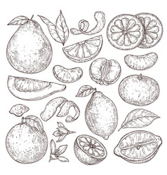 citrus fruits sketch hand drawn orange mandarin vector image