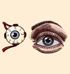 The human eye left side face white vector
