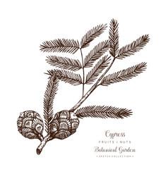 vintage cypress vector image