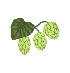 hops herb plant with leaf element for brewery vector image
