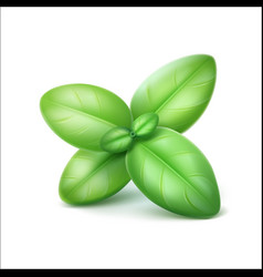 Green fresh basil leaves close up isolated vector