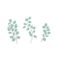 Eucalyptus gunnii branches realistic vector
