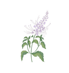 Java tea tender flowers or inflorescences stems vector