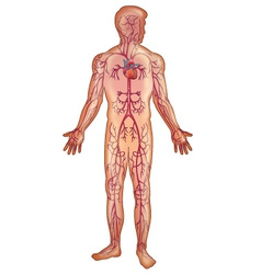 Arteries in the human body vector