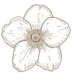 Engraving anemone flower vector