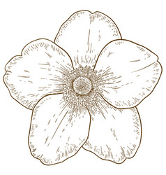 Engraving of anemone flower vector