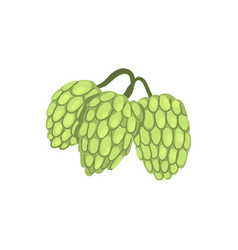 Hops herb plant element for brewery products vector