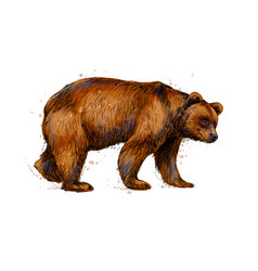 portrait of a brown bear from a splash vector image