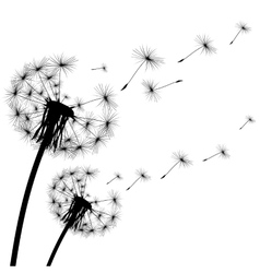 Black silhouette of a dandelion on white vector