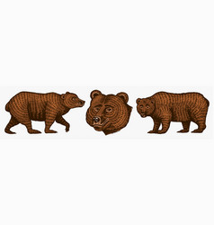 grizzly bears hunting brown wild animals vector image