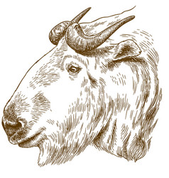 Engraving drawing of golden takin head vector