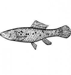 fish ubmra krameri vector image vector image