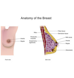 anatomy of the breast vector image