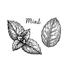 Ink sketch of mint leaves vector
