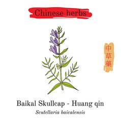 Medicinal herbs of china baikal skullcap vector
