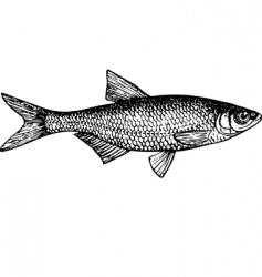 fish alburnus vector image