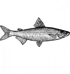 Fish coregonus tugun vector