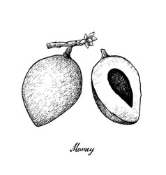 Hand drawn of mamey sapote on white background vector