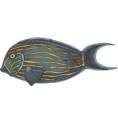Blue banded surgeonfish vector