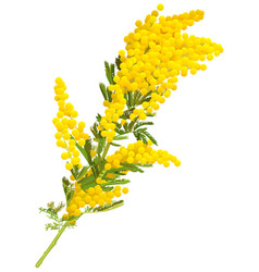 Yellow mimosa flower branch acacia isolated on vector