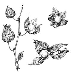 Artistic sketch of physalis vector
