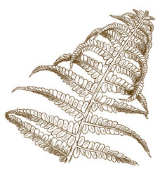 engraving of fern vector image
