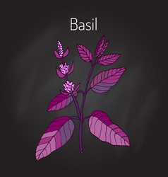 Basil culinary herb vector