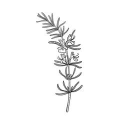 Drawing rosemary vector