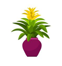 guzmania house plant in flower pot vector image