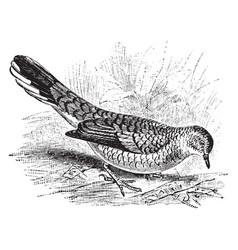 scaly ground dove vintage vector image