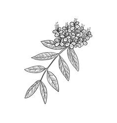 Drawing ashoka tree vector