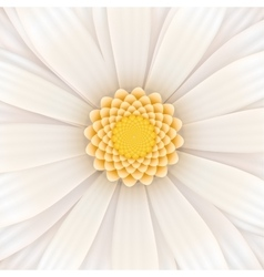 White gerbera flower square vector