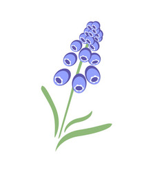 blue muscari vector image
