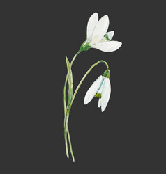 Watercolor snowdrop flower vector