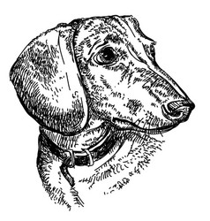 Dachshund portrait hand drawing vector