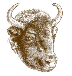 Engraving of bison head vector