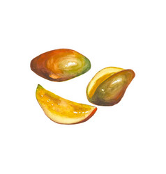 watercolor mango fruit isolated on white vector image