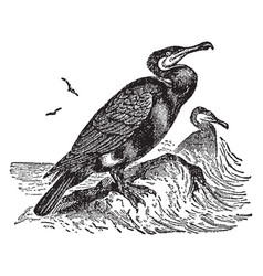 Double crested cormorant vintage vector