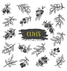 sketches of olive berries on branch with leaves vector image vector image
