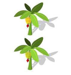 Banana tree with banana fruit vector