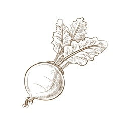 Picture of beet with leaves vector