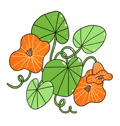 beautiful orange nasturtium flowers cartoon vector image