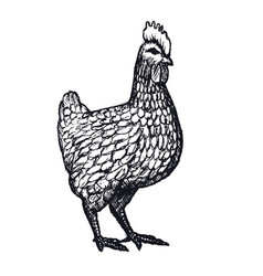 hen or chicken hand drawn with contour lines on vector image