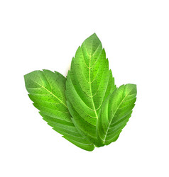 realistic mint leaves menthol 3d herb green vector image