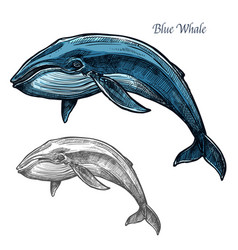 blue whale isolated sketch for sea animal design vector image vector image